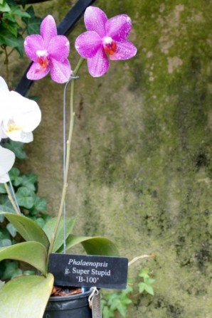 Super Stupid Orchid