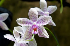 Striped Pink Orchid