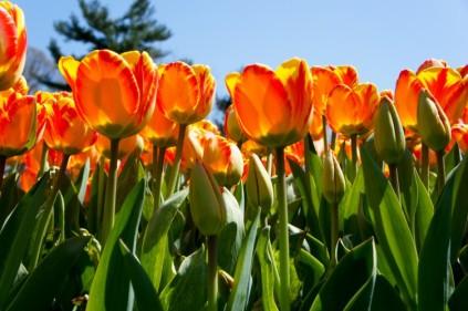 Orange-Yellow Tulips