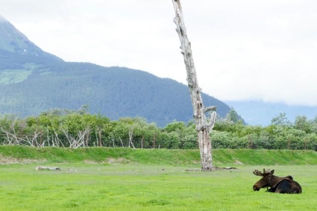 Moose - Landscape