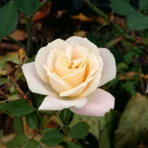 Perfect Autumn Rose
